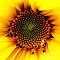 Rose Santuci-Sofranko - Sunflower Macro with Oil...