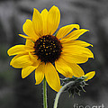 Rebecca Margraf - Sunflower on gray