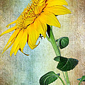 Kaye Menner - Sunflower on Textured...