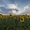 Terry DeLuco - Sunflower Rays Augusta NJ