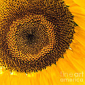 Arlene Carmel - Sunflower Seeds