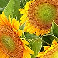 Kim Bemis - Sunflower Smiles