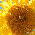 Heather Coen - Sunflower Sunshine and...