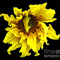 Rose Santuci-Sofranko - Sunflower with curlicues...