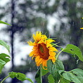 Barbara Chichester - Sunflowers and Raindrops