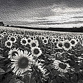 Debra and Dave Vanderlaan - Sunflowers Black and...