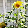 Don Baker - Sunflowers in the Window
