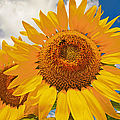Regina Geoghan - Sunflowers with Attitude