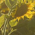 Rima Biswas - Sunlight And Sunflower