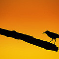Andres Leon - Sunset Grackle Silhouette