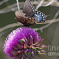 Tannis  Baldwin - Swallowtail and Thistle