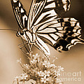 Chris Scroggins - Swallowtail Butterfly 2