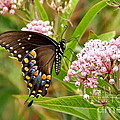 Francie Davis - Swallowtail On Flower 2