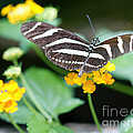 Terry Weaver - Swallowtail on Lantana