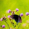 Constantine Gregory - Swallowtail On Thistle