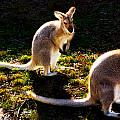 Miroslava Jurcik - Swamp Wallabies