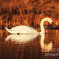 Rose-Mari Pictures - Swan