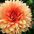 Christiane Schulze Art And Photography - Sweet Dahlia