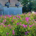 Sandy Young - Sweet Peas in Upper...
