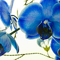 Iryna Soltyska - The blue mystique Orchid