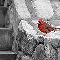 Agrofilms Photography - The Cardinal Picture