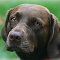 Barbara S Nickerson - The Chocolate Lab