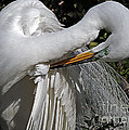 Lydia Holly - The Elegant Egret
