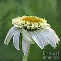 Terry Rowe - The First Coneflower