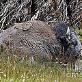 Janice Rae Pariza - The Old Gray Bison