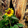 Danielle Allard - The sunflower by the road