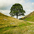 MaryJane Armstrong - The Sycamore Gap along...
