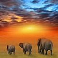 Bruce Nutting - The Three Elephants