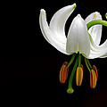 Torbjorn Swenelius - The white form of Lilium...