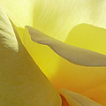 Steve Taylor - The Yellow Petal...