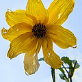 Darleen Stry - Thin-leaved Sunflower...