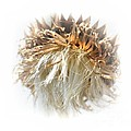 Maria Urso  - Thistle Abstract 14-1
