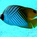 Barbie Corbett-Newmin - Threadfin butterflyfish