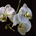 Peggy Collins - Three White Orchids on...
