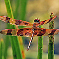Larry Nieland - Tiger Dragonfly
