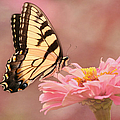 Kim Hojnacki - Tiger Swallowtail in the...