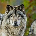 Wolves Only - Timber Wolf Pictures 253