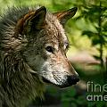 Wolves Only - Timber Wolf Pictures 263