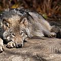 World Wildlife Photography - Timber Wolf Pictures 945