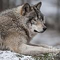 Wolves Only - Timber Wolf Portrait