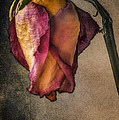 Deena Athans - Timeless Rose