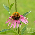 Jackie Burlingame - Tired Cone Flower