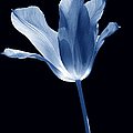 Jennie Marie Schell - To the Light Tulip...