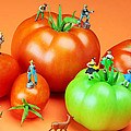 Paul Ge - Tomato harvest little...