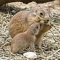 Chris Scroggins - Too Cute Prairie Dogs