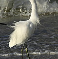Christiane Schulze Art And Photography - Touseld Egret